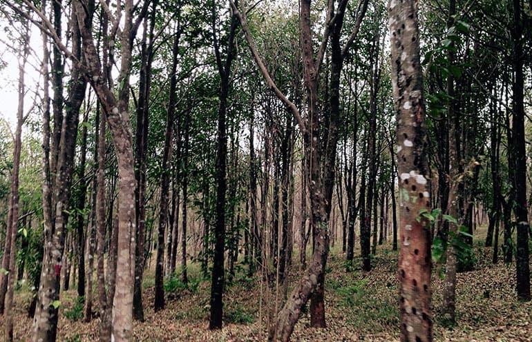 agarwood forest