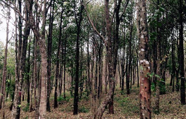 Do Bau forest