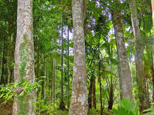 Agarwood is the fragrant, rotten part formed on the trunk of the Aquilaria tree