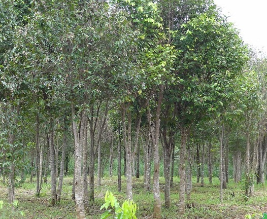 Aquilaria tree is a woody plant that lives hidden for hundreds of years in old forests