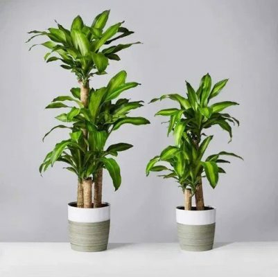 Fortune tree is one of the most common plants for living room
