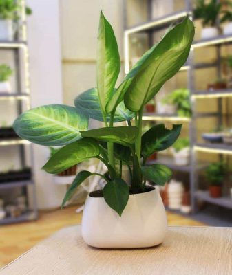 An iconic fengshui plant for living room decoration