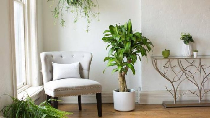 Ironwood Tree is one of the favorite plant decoration for living room