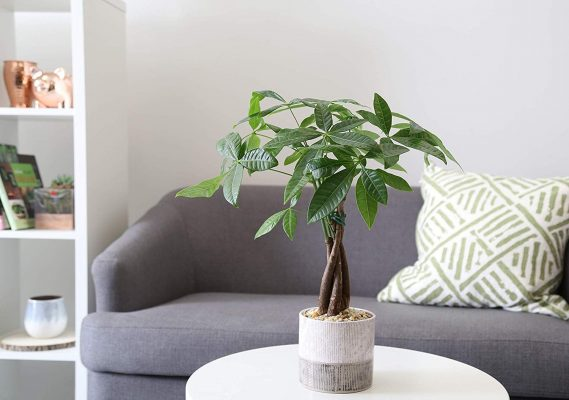 The Money Tree Plant can attract Wealth in your home