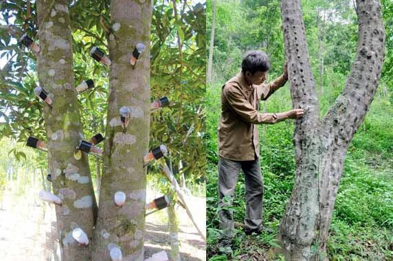 Khanh Hoa is a famous place for agarwood in Vietnam