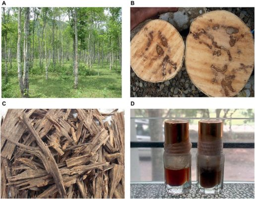 The agarwood tree can only be found in tropical locations